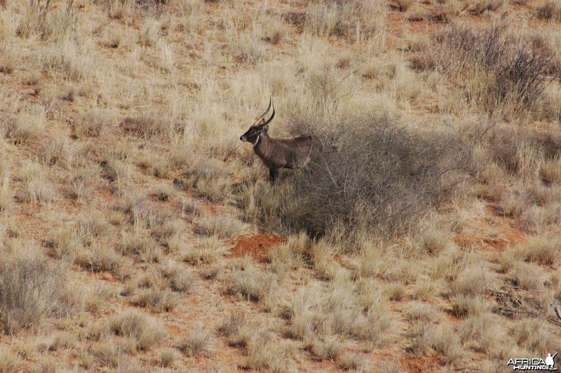 Waterbuck in Namibia