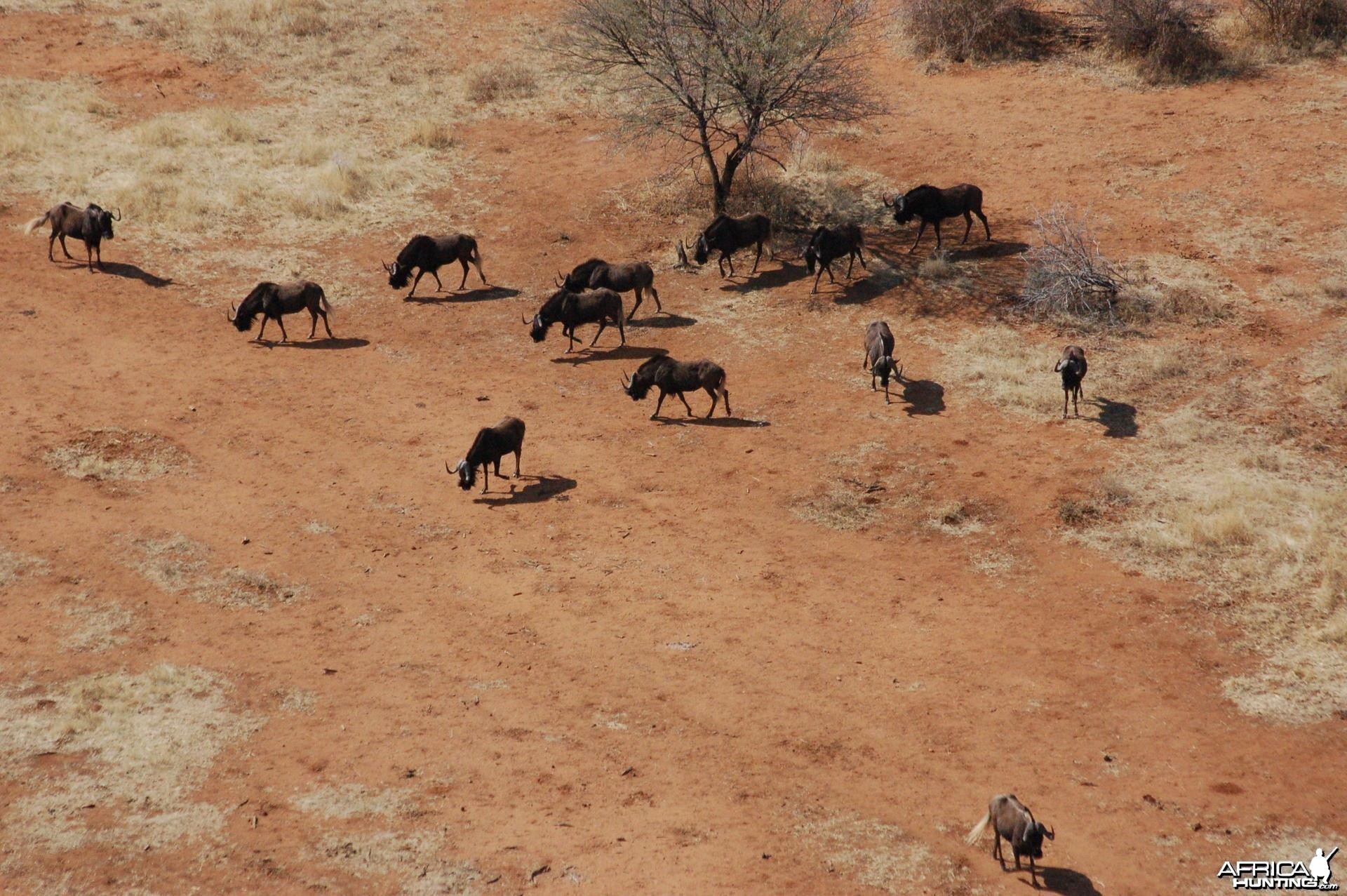 Black Wildebeest in Namibia