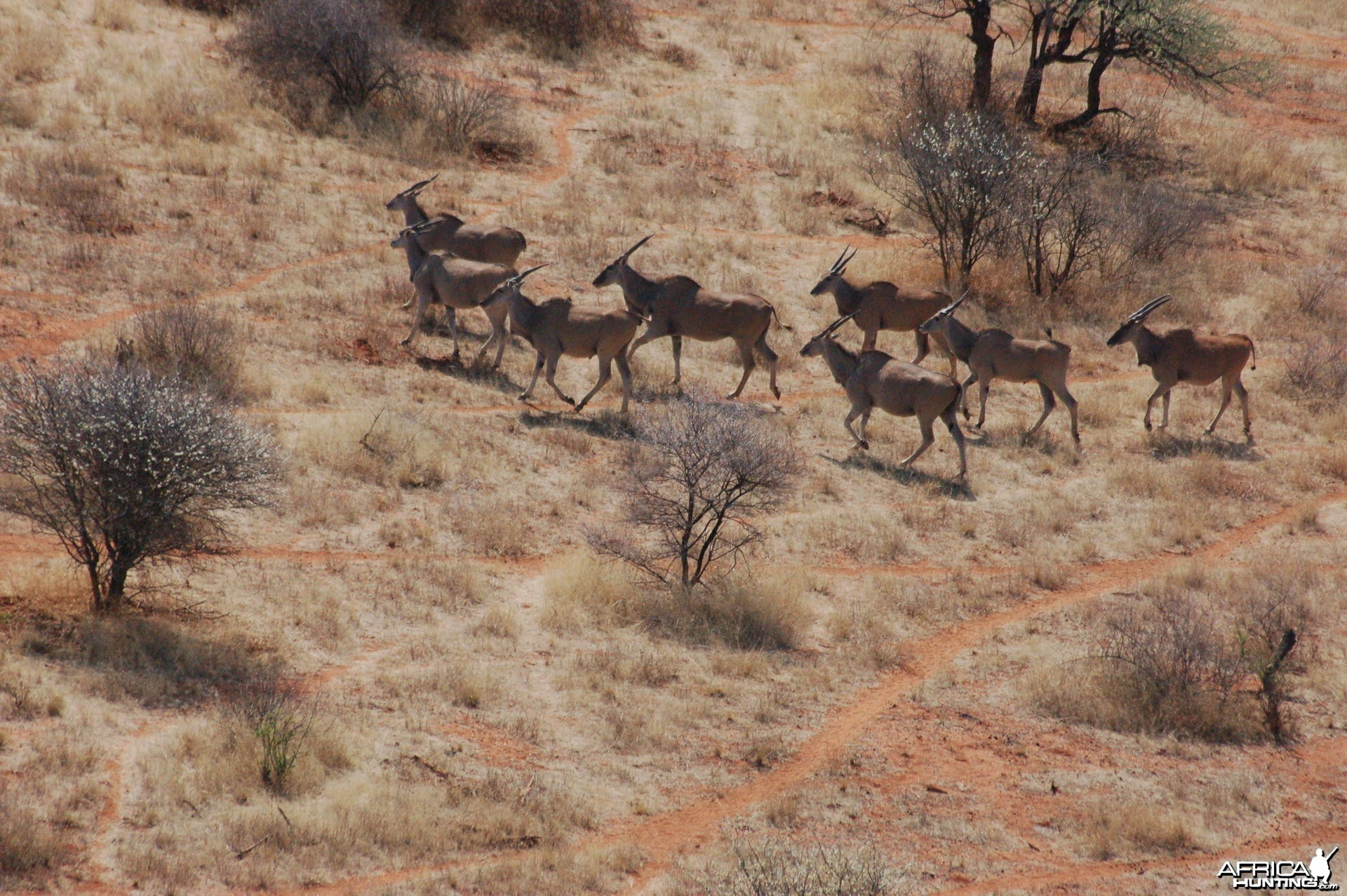 Cape Eland in Namibia