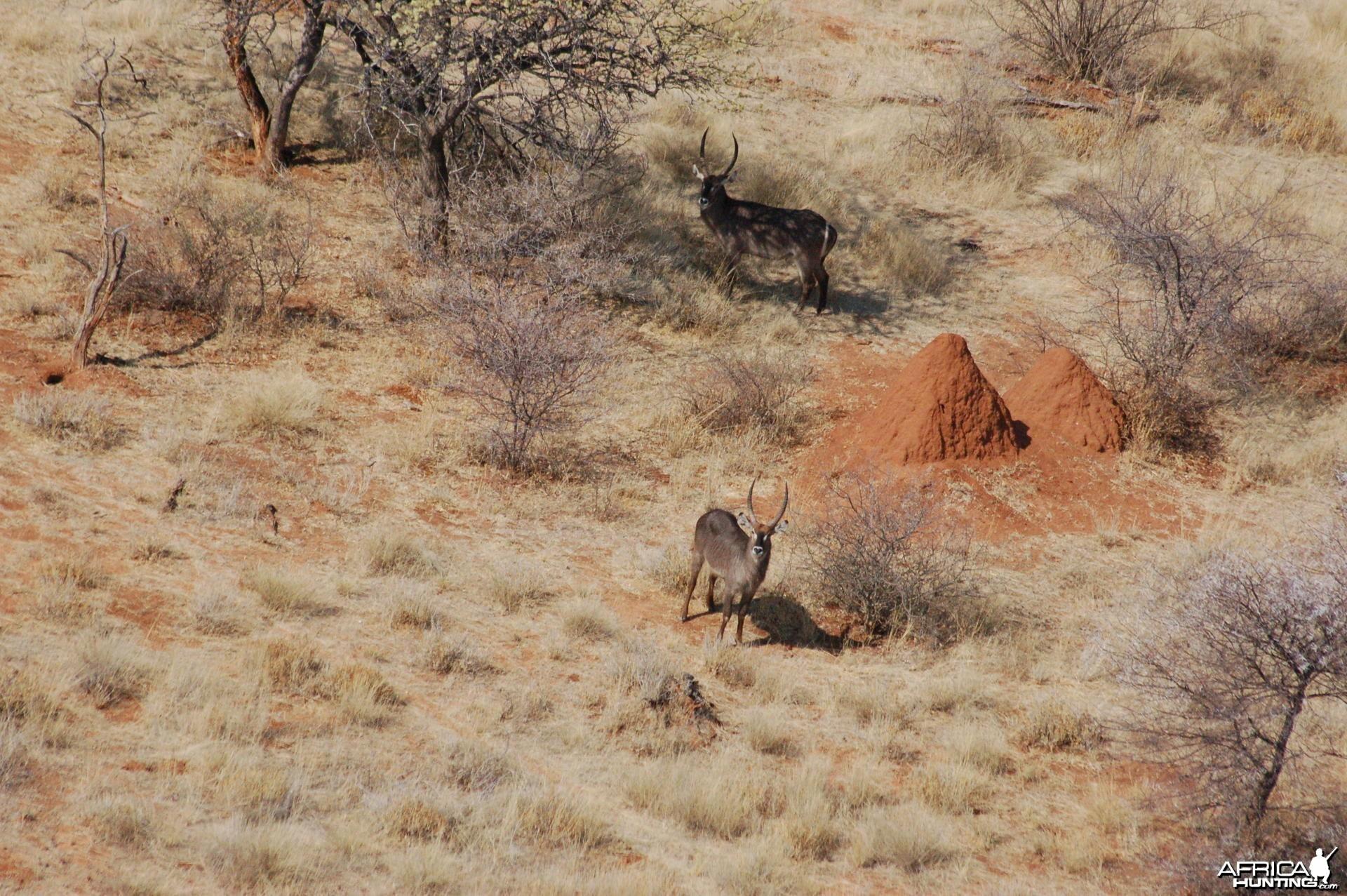 Waterbuck in Namibia