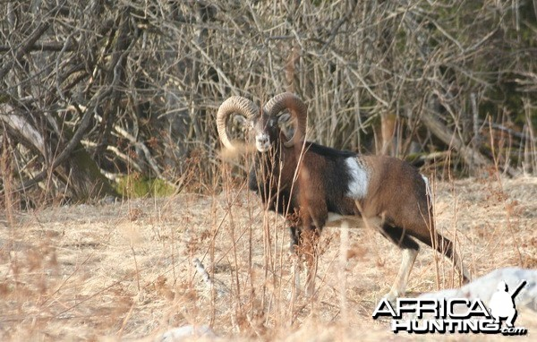 His majesty mouflon, Croatia