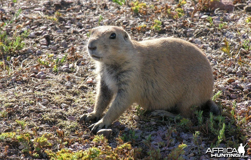 Prairie Dog, USA
