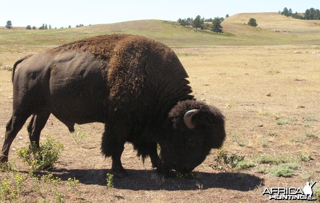 Bison, USA