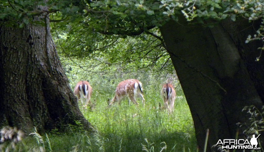 A group of Fallow Deer, Denmark