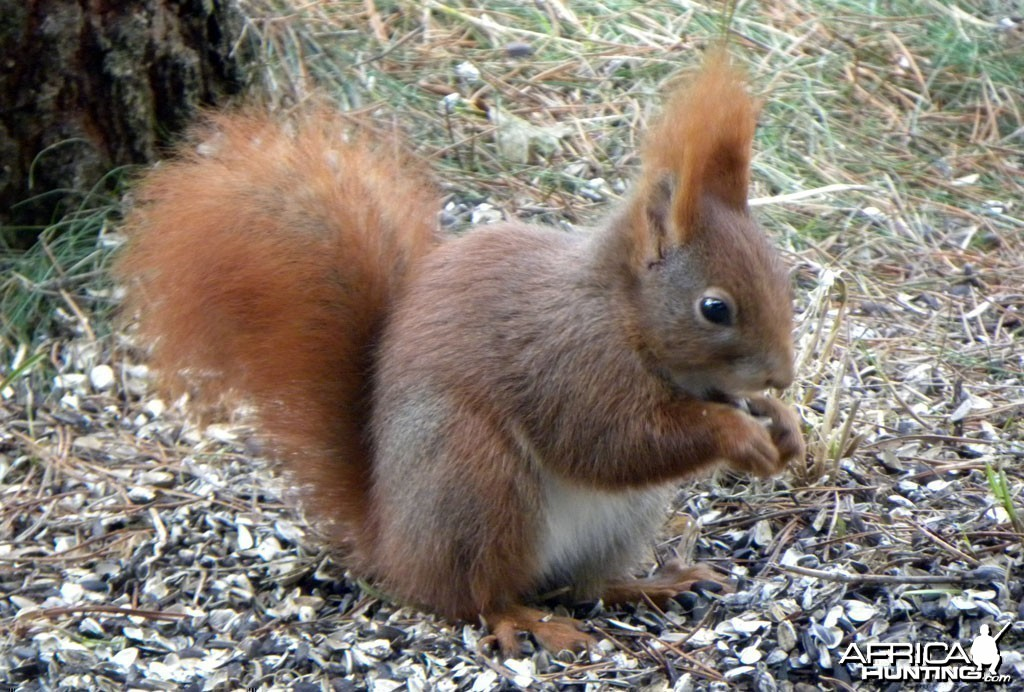 A little Red Squirrel, Denmark