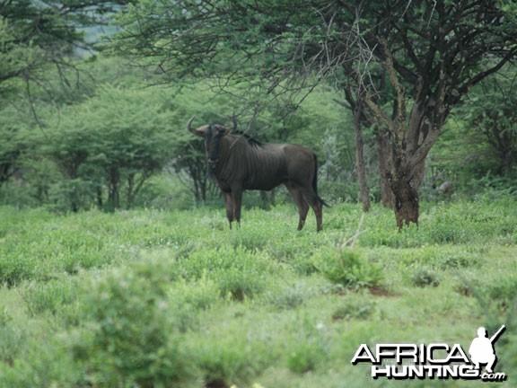 Wildebeestw