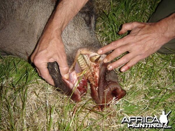 Boar Cutters