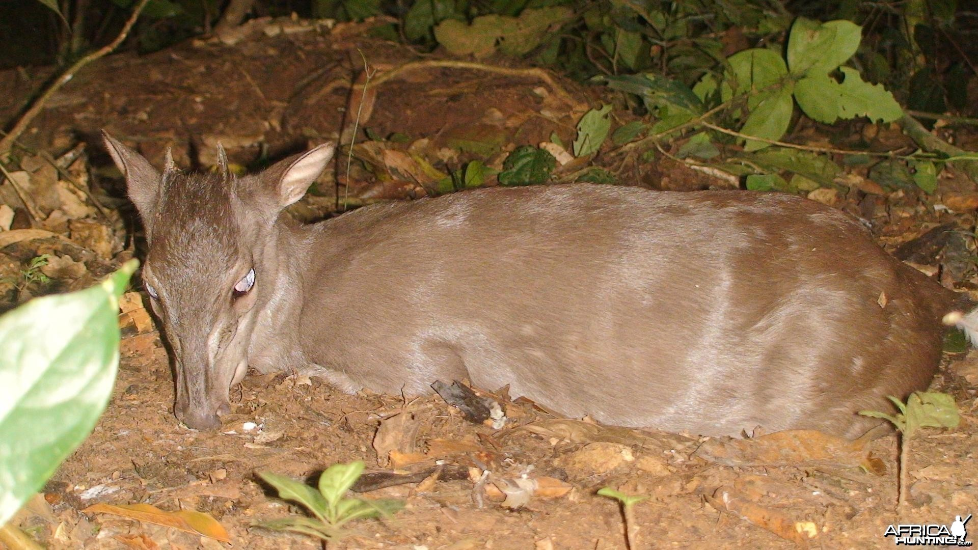 One of the smallest antelopes, Blue Duiker, Cameroon 2009