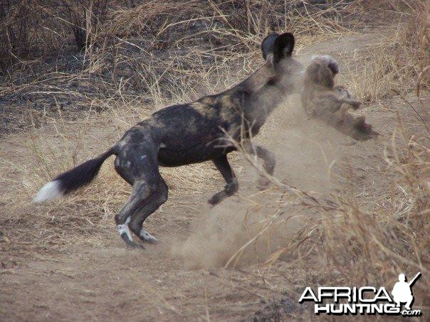 Wild dog in Masailand