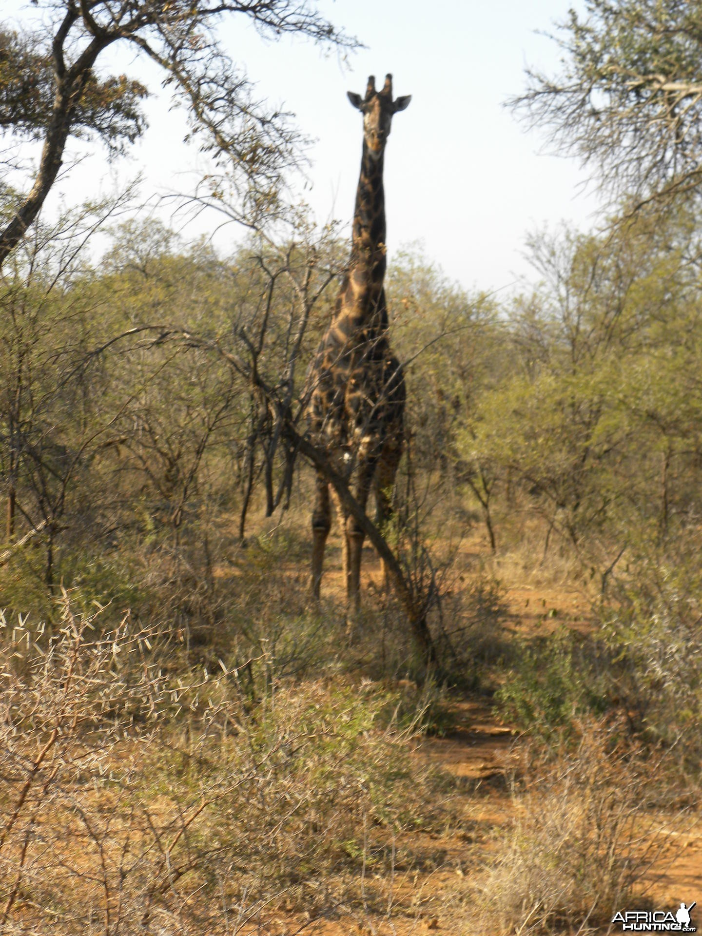 Giraffe Looking Down on Me While Stalking Gemsbuck