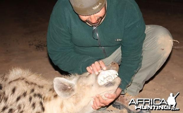 Hyena in Limpopo RSA