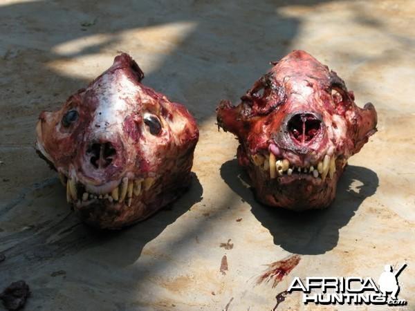 Hyena male and female skull
