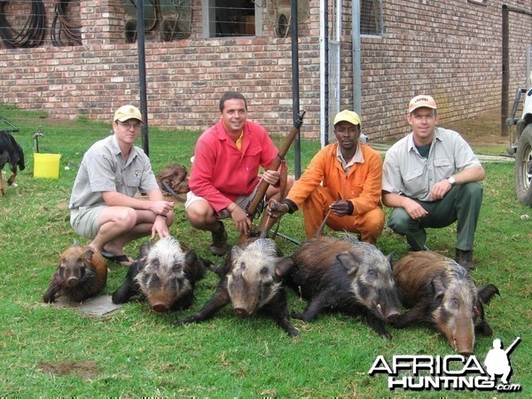 Bushpig hunted with hounds -  www.lloydsafaris.co.za