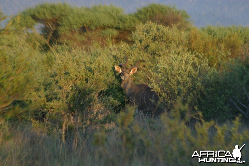 Kudu Bull at Sunrise