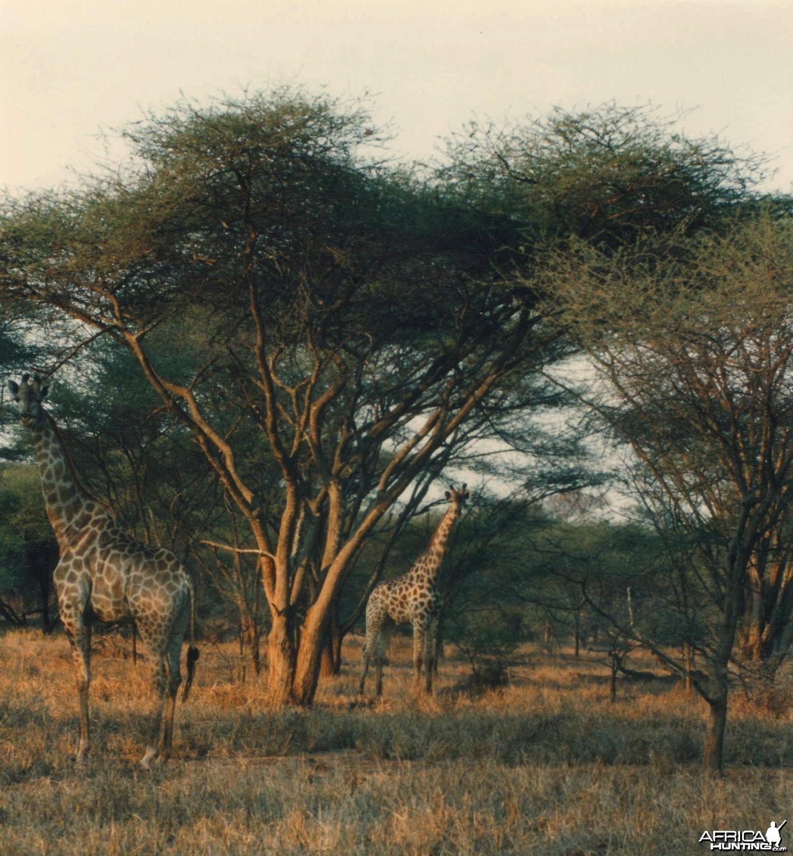 Giraffe Zimbabwe