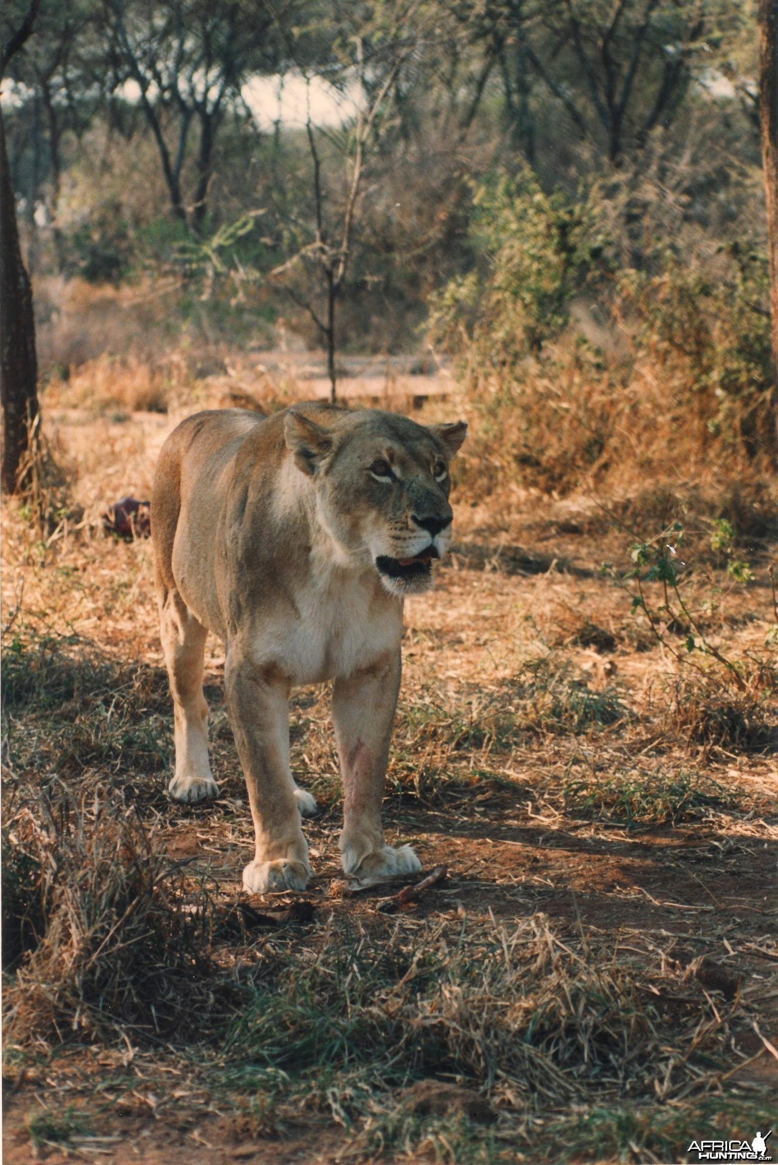 Lioness Zimbabwe