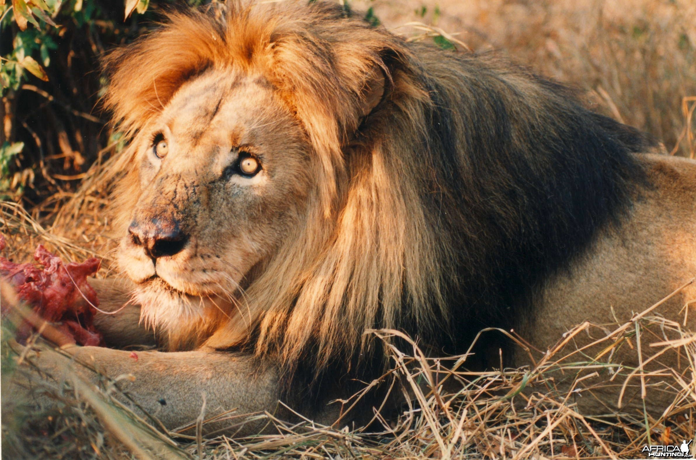 Lion Zimbabwe