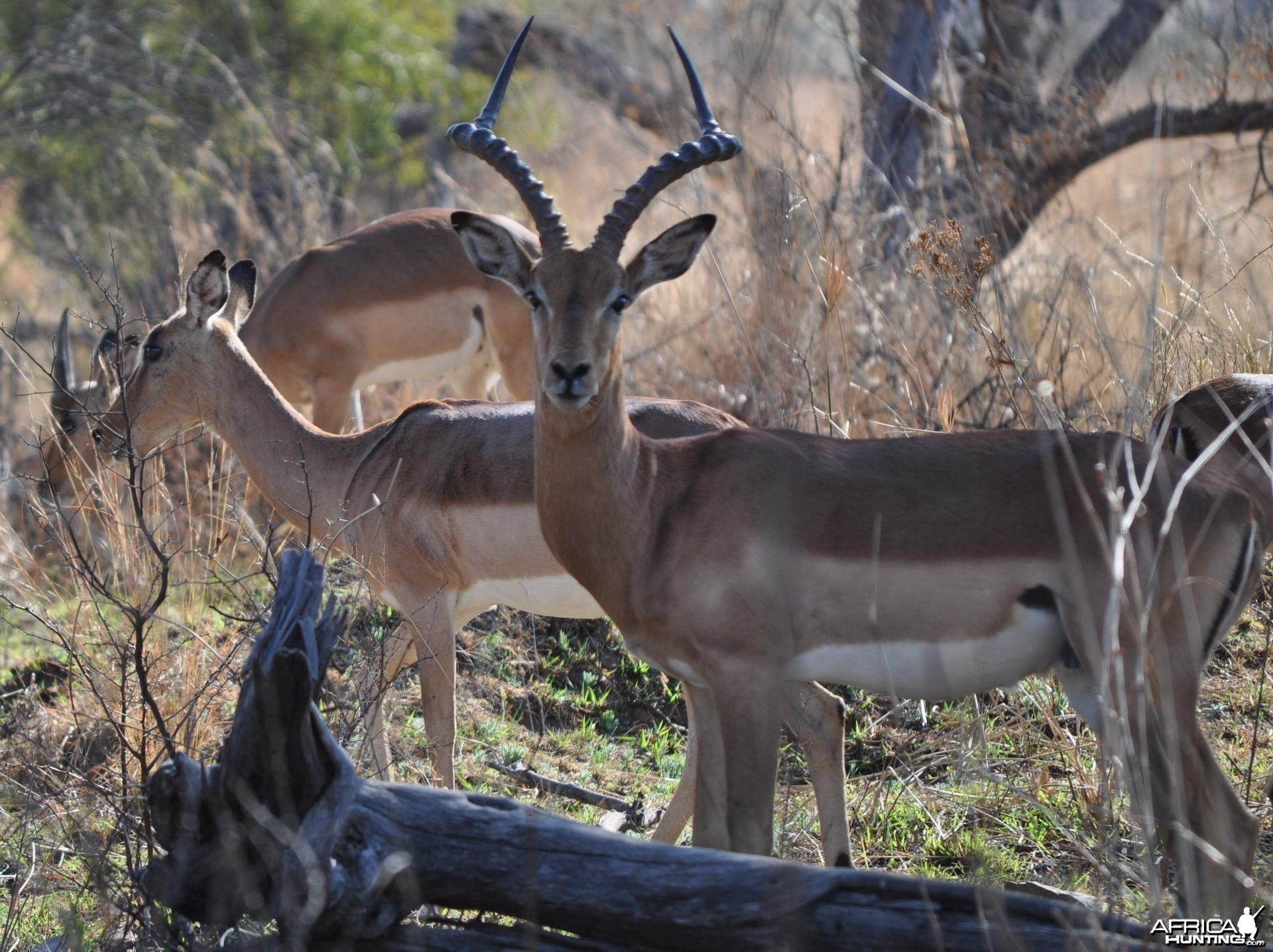 Busted by an Impala ram