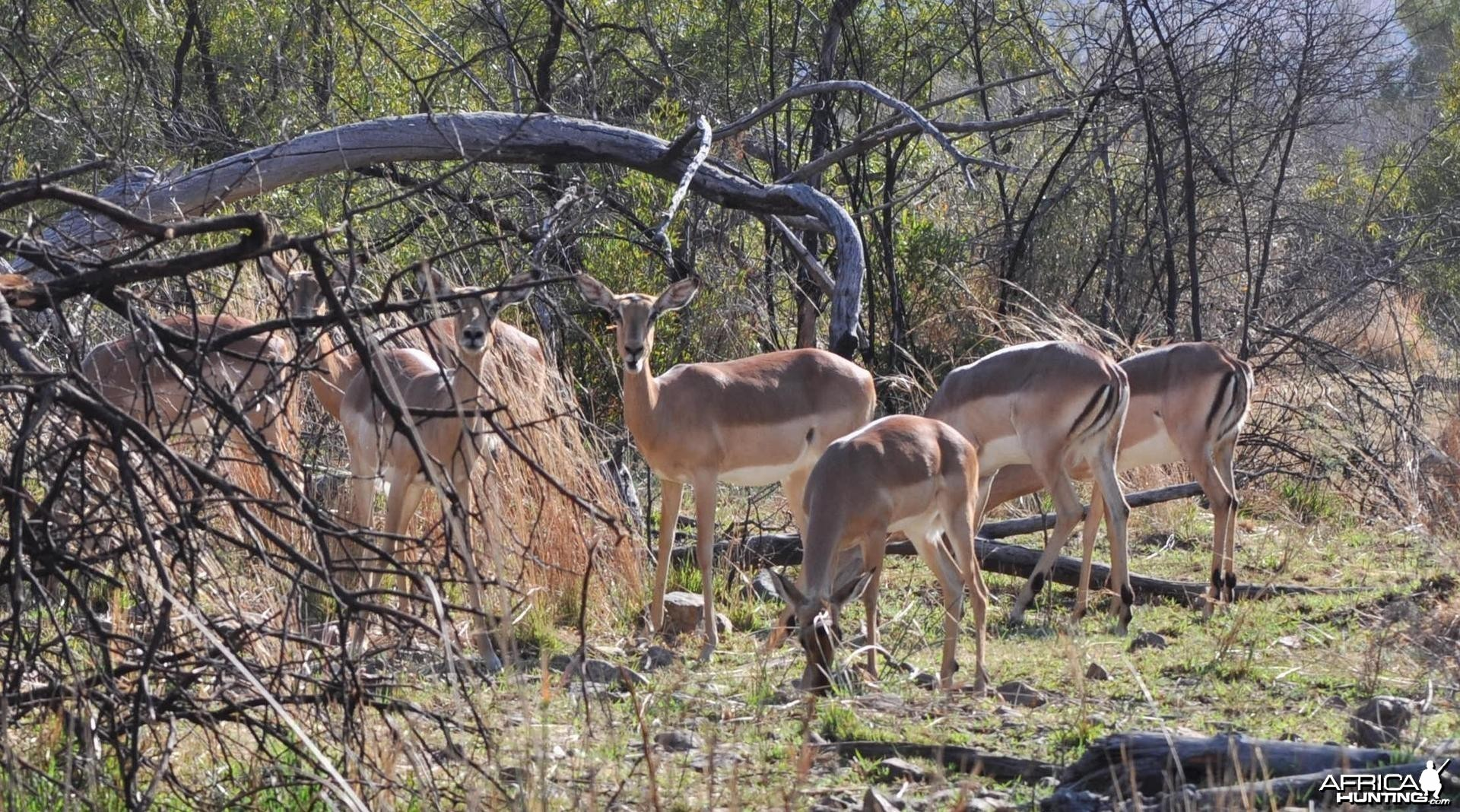 Impalas having lunch