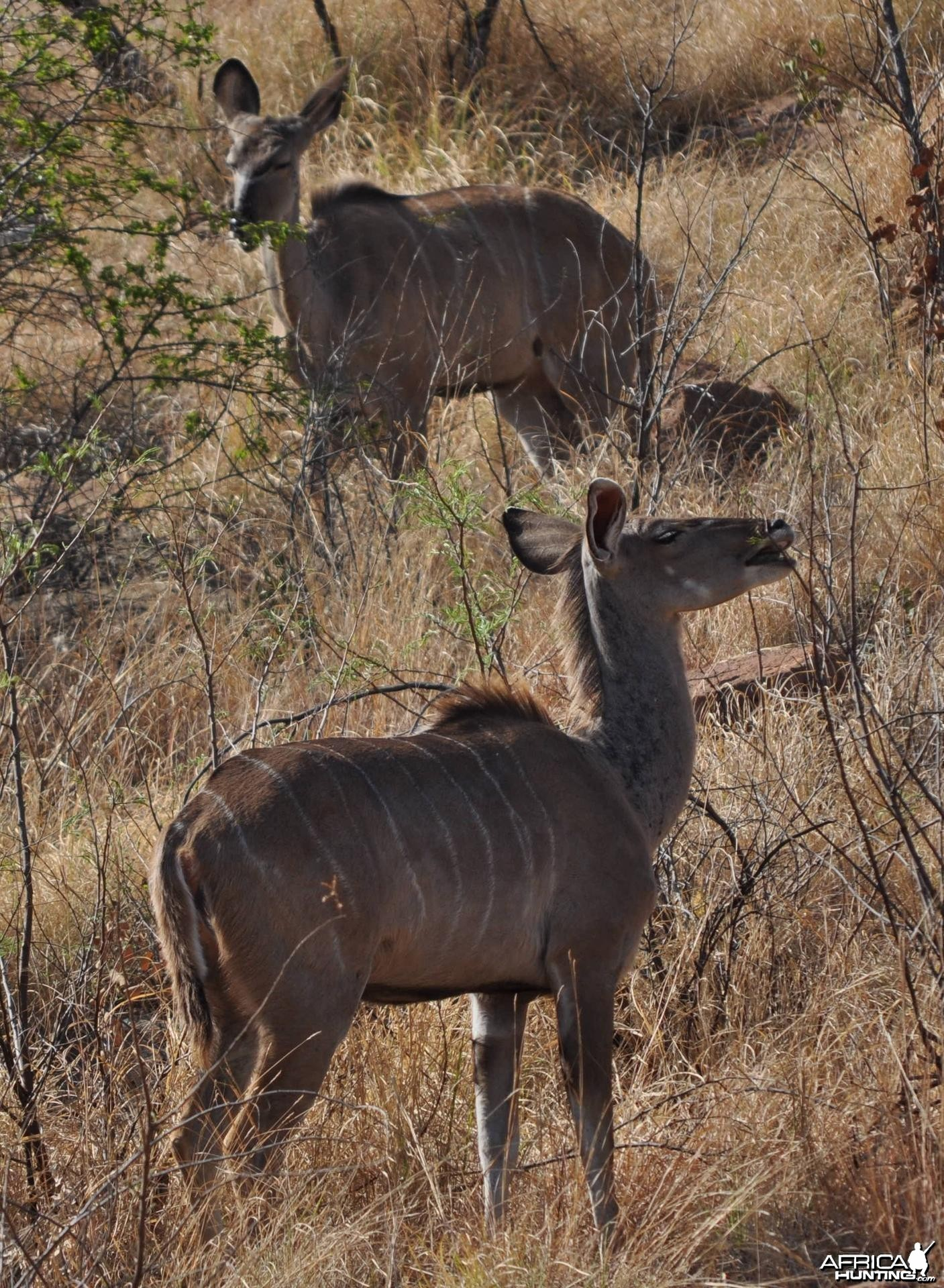 Kudu cows on hillside