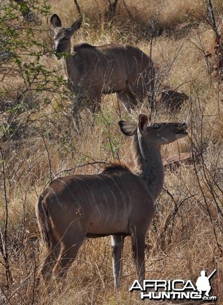 Kudu cows on hillside