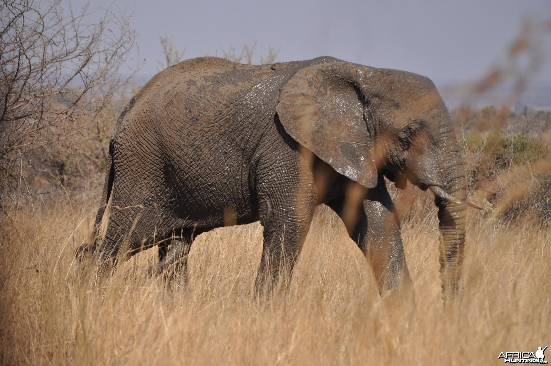 Strolling Elephant