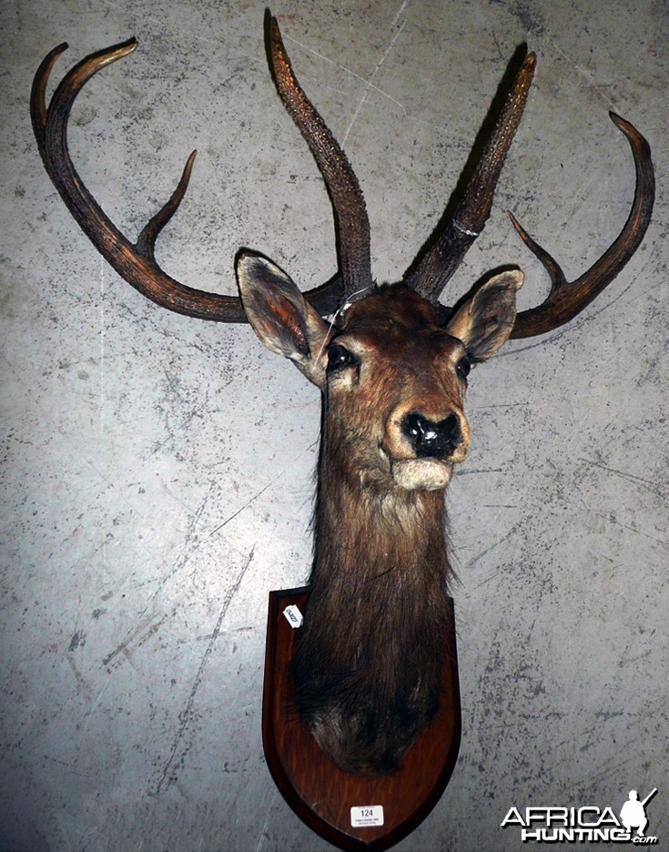 The Sangai (Cervus eldi eldi), Indian Bow-Antlered Deer from Southeast Asia