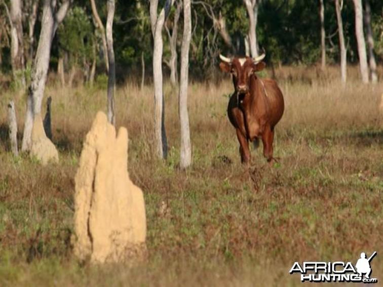 Wild Oxen, Arnhemland, Australia