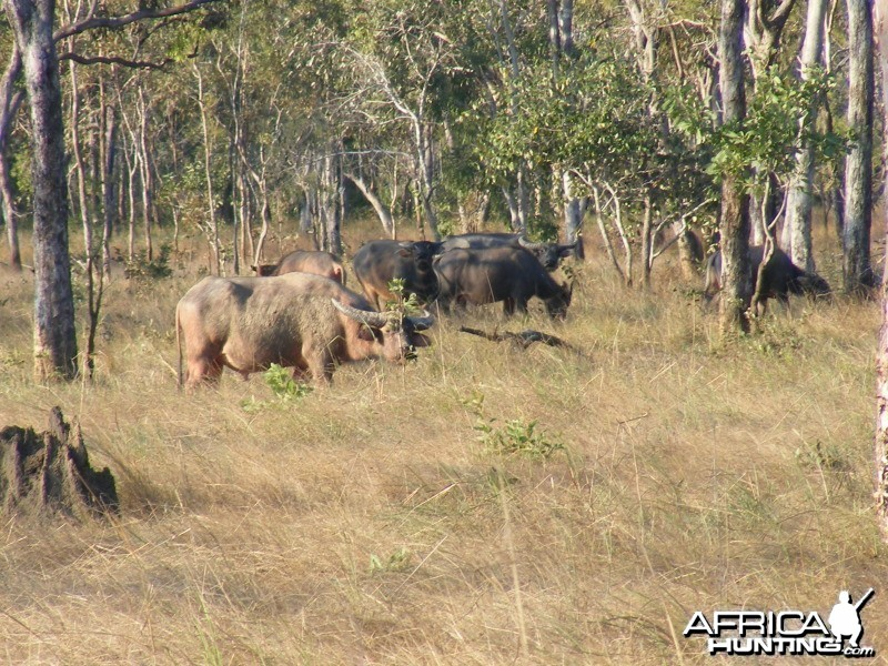 Asiatic buffalo, Arnhemland, Australia