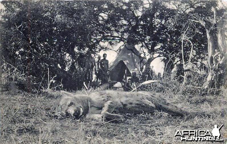 Hunting Hyena Postcard, 1907