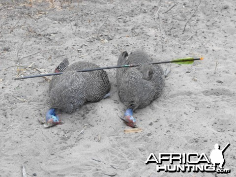 Two Guineas One Arrow