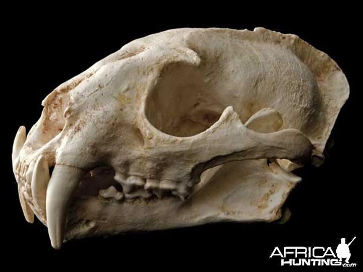 Clouded Leopard skull