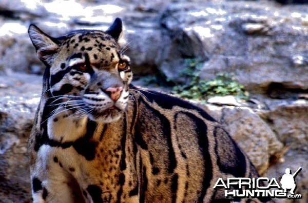 Clouded leopard hunting - photo#14