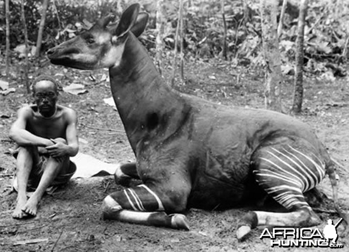 Okapi, Congo circa 1910
