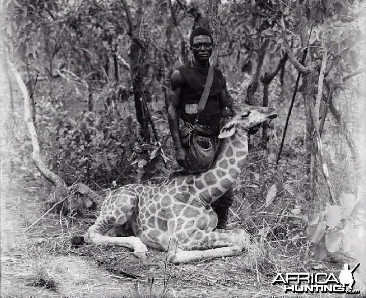 Giraffe, Congo circa 1910