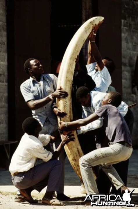 Confiscated tusk in Tanzania