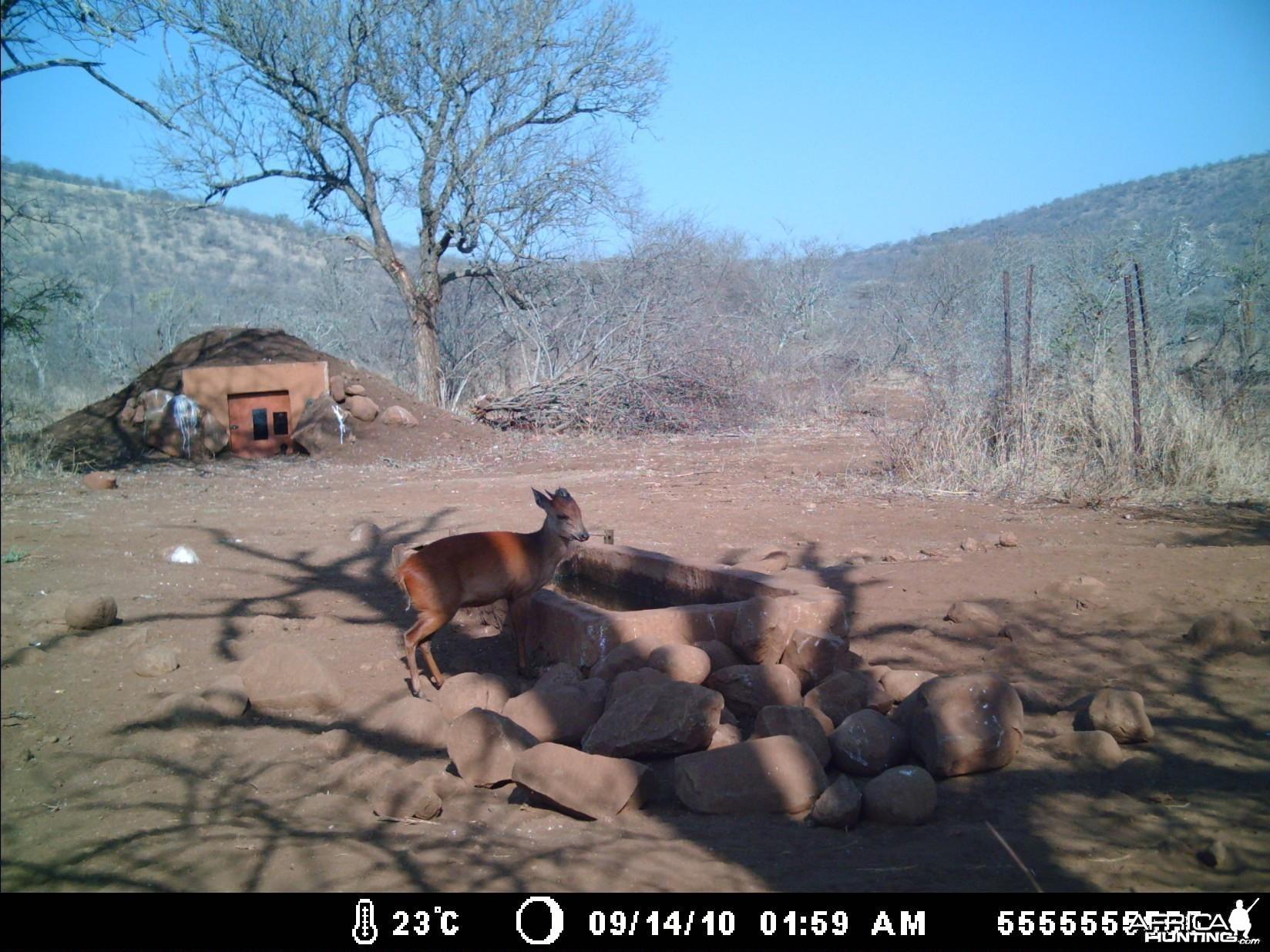 Red Duiker Zululand