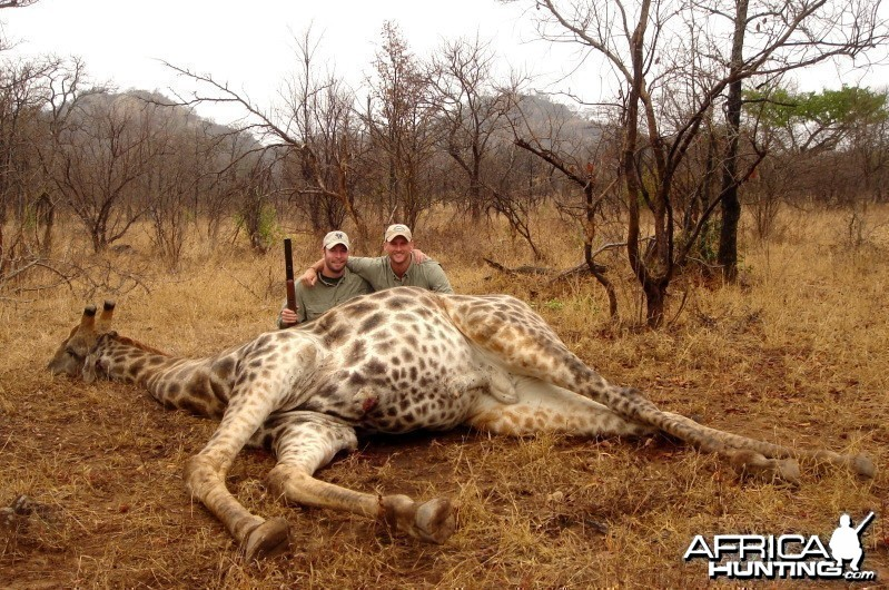 Giraffe hunted in Zimbabwe