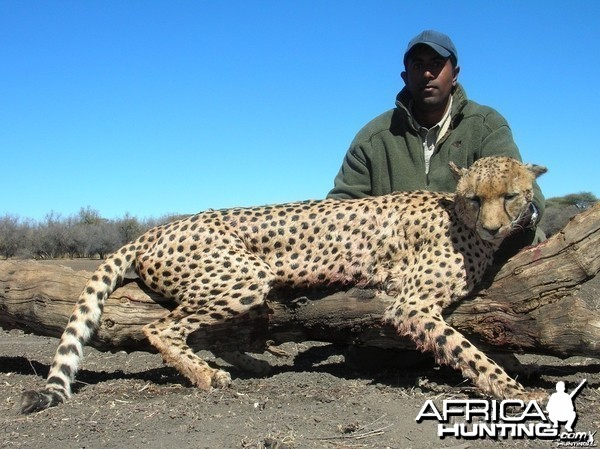Hunting Cheetah - Number One SCI