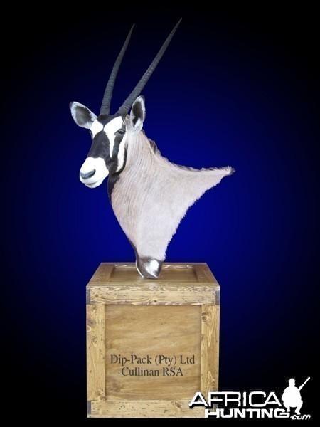 Gemsbok shoulder mount pedestal on old-fashioned shipping crate