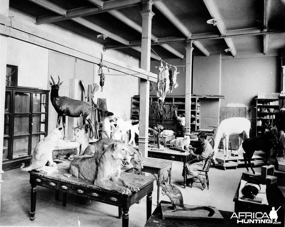 Taxidermist at Work on Roosevelt Safari Specimens