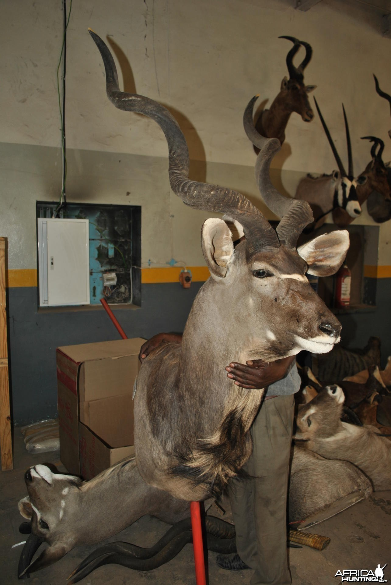 My Kudu at the taxidermist in SA