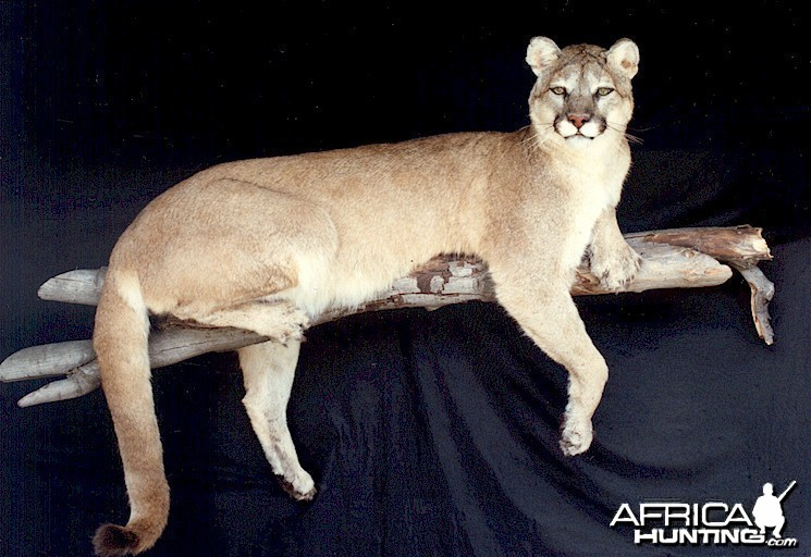 Cougar or Mountain Lion