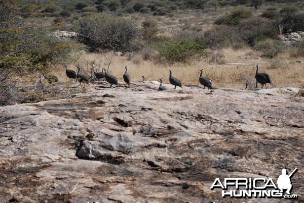 Guineafowls, Namibia