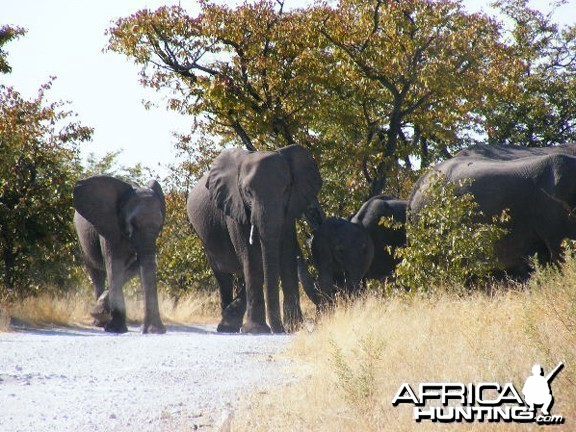 Elephant at Etosha