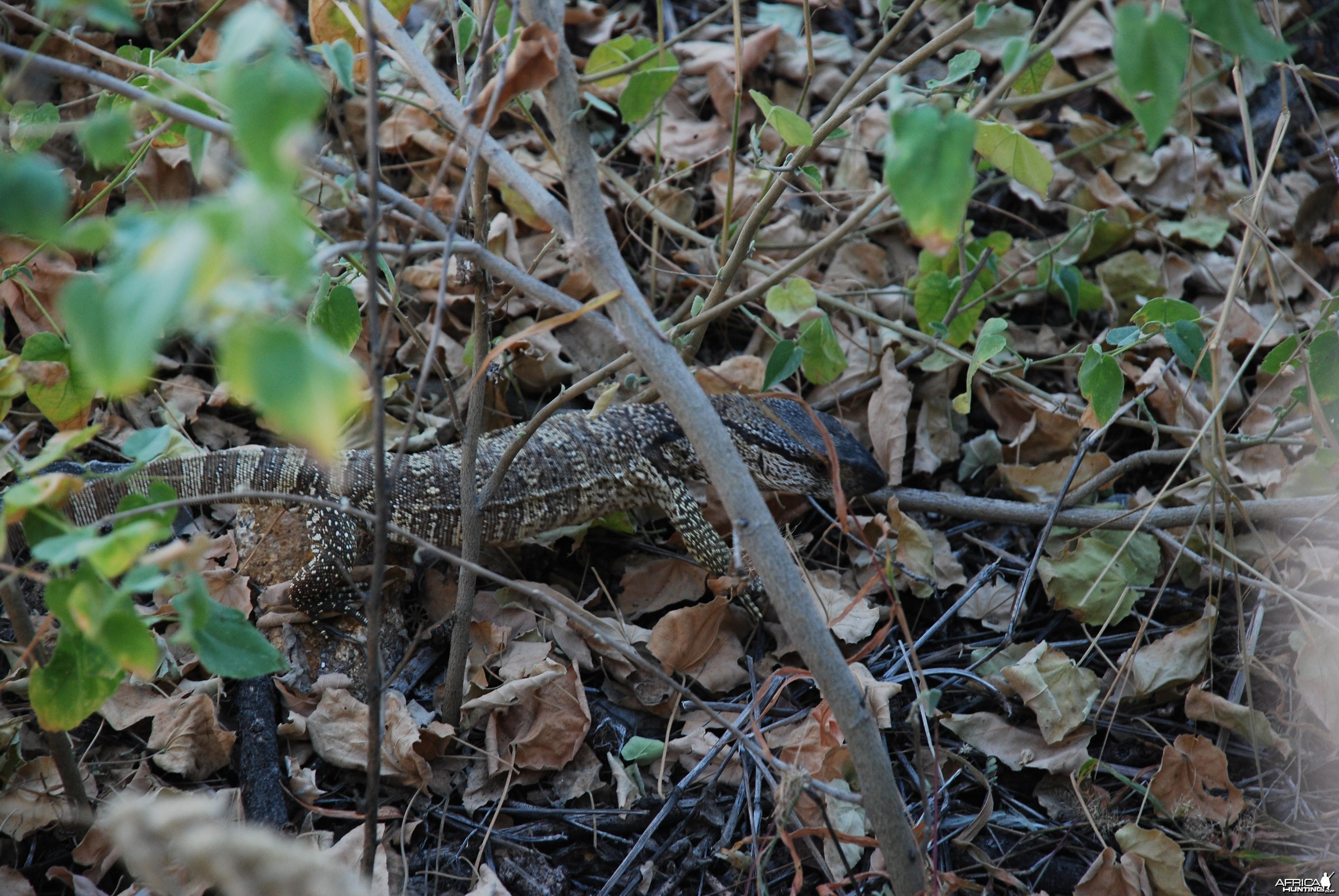 Monitor Lizard, Namibia
