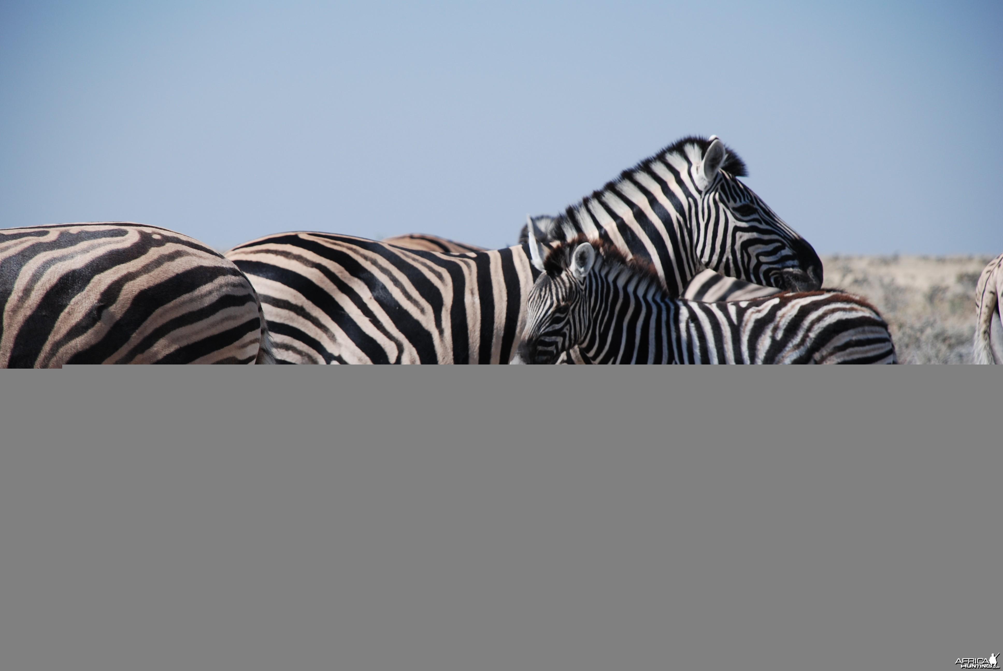 Zebras at Etosha