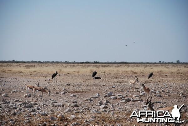 Springbok at Etosha