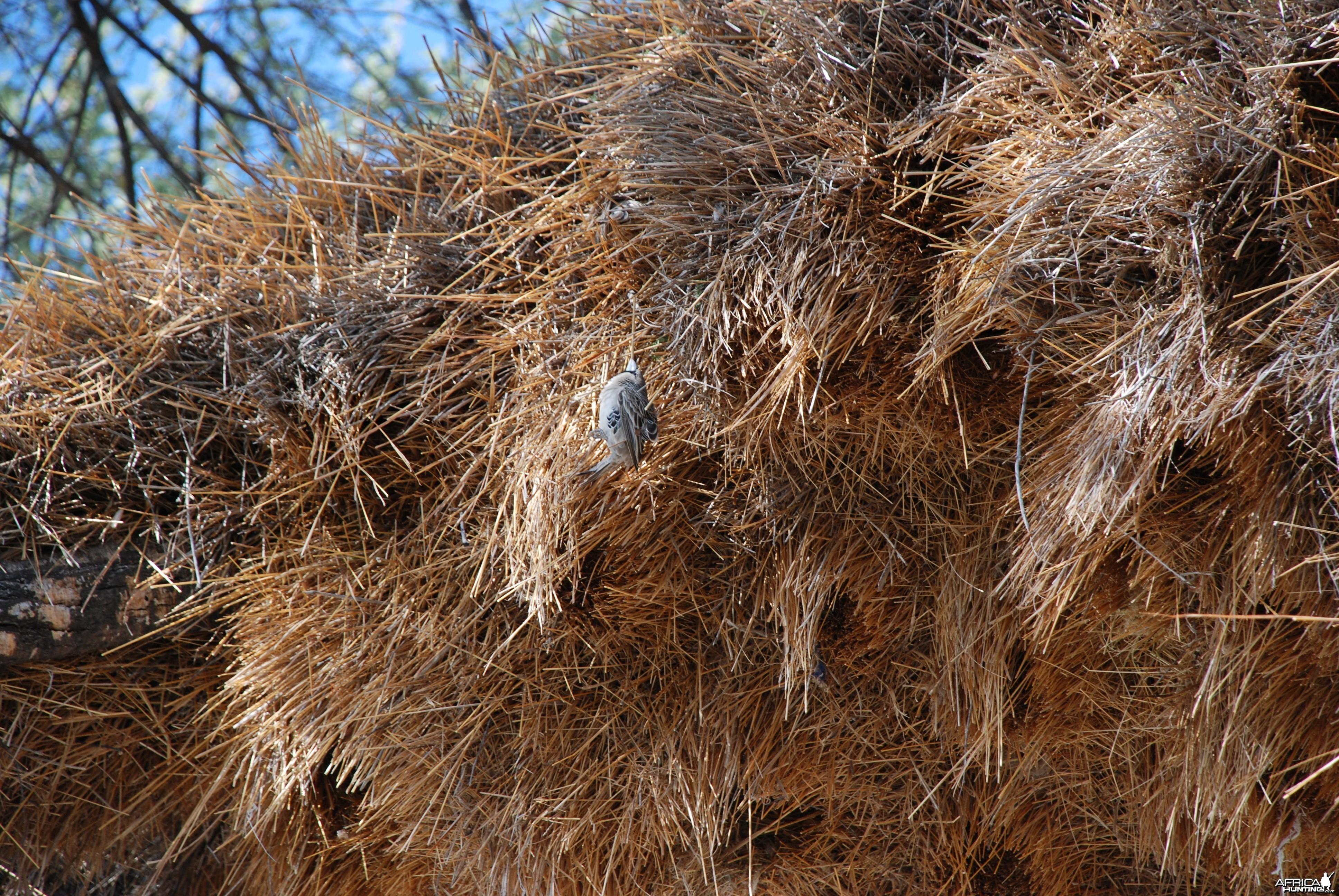 Communal nest, Namibia