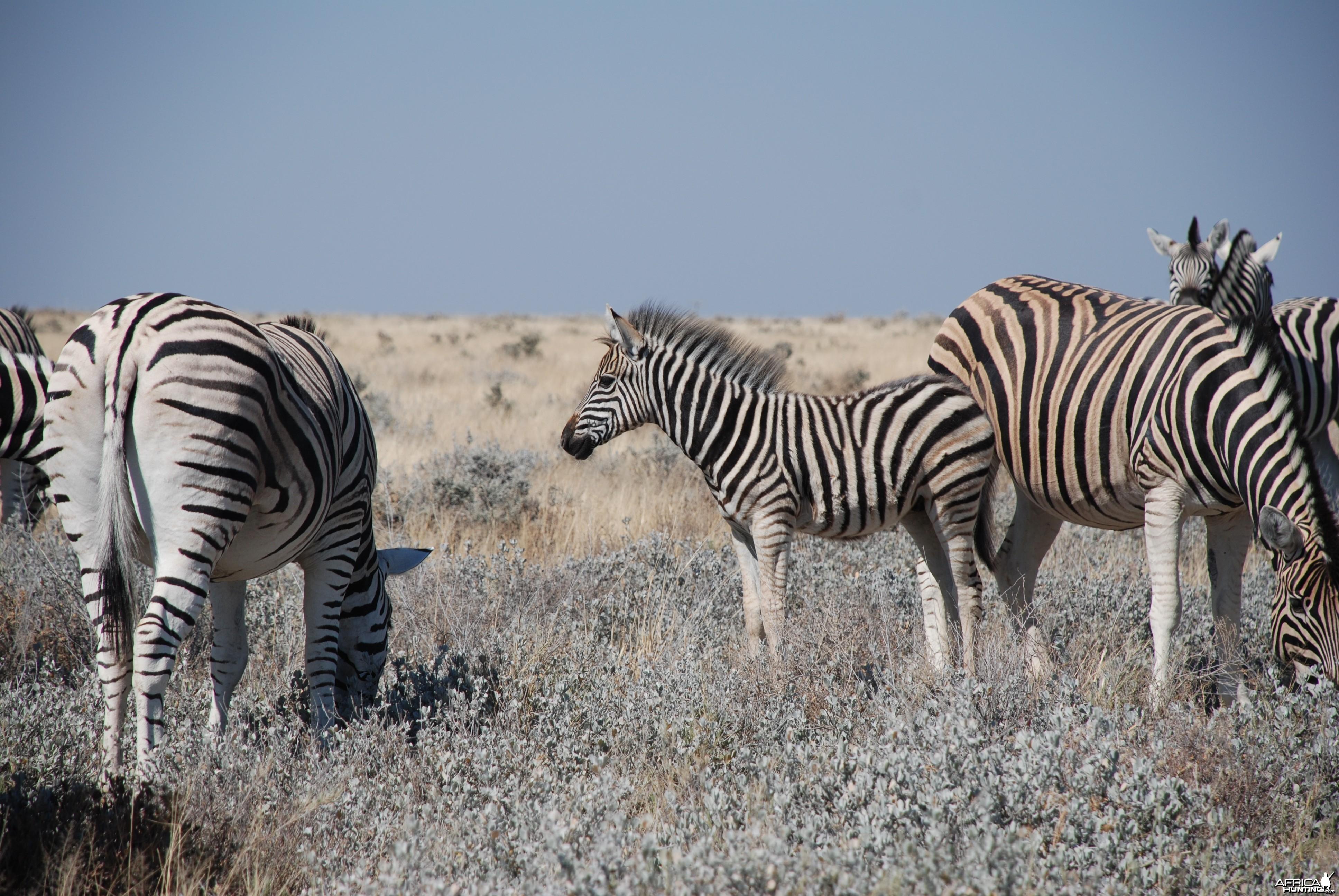 Zebra at Etosha, Namibia